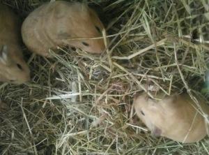 Blondie's baby Squidgypigs.