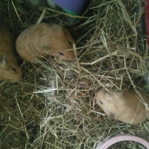 Squidgypigs - Babies enjoy some 2015 Timothy hay