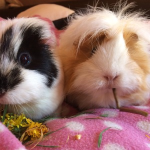 The essential bit: 2 Guinea Pigs. This is Football & Blondie.