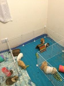 Squidgypigs - c&c cages