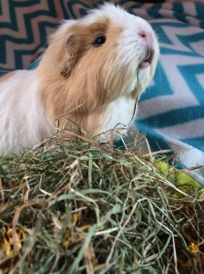Squidgypigs - Miley munching  her 5 a Day Hay