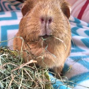 Squidgypigs - Morag munching her 5aDay Hay