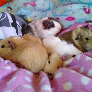 Squidgypigs - Piggies  LOVE fleece.
