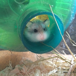 Squidgypigs gains a hamster.