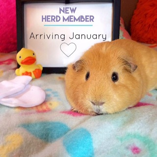 Pregnancy Announcement  - Guinea Pig