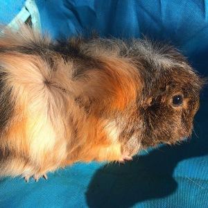 Squidgypigs -  New Guinea Pig - Tabby