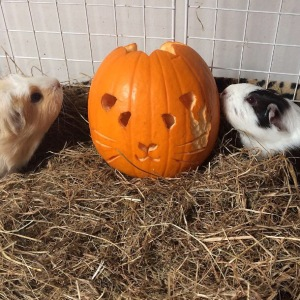 Squidgypigs - Can Guinea Pigs Eat Pumpkin? Yes!