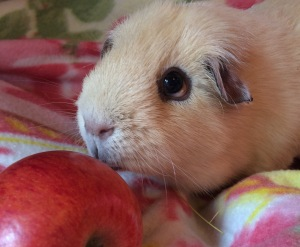 Squidgypigs - Ned enjoying an apple