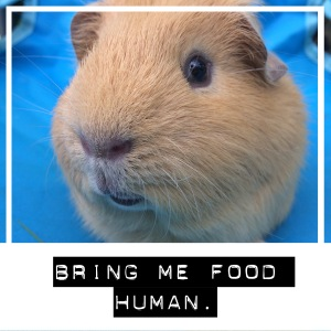 Squidgypigs - Are Guinea Pigs Cathermeral?