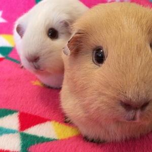 Squidgypigs - When Guinea Pigs Photobomb