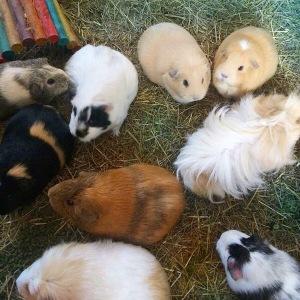 Squidgypigs - Guinea Pig herd