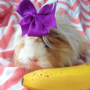 Squidgypigs - Blondie contemplating a banana