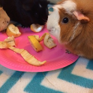 Squdgypigs - Can Guinea Pigs Eat Bananas? Yes!