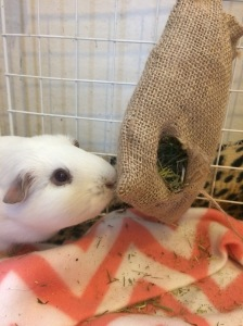 Squidgypigs - Princess Bagel-Baby enjoying the Veg Patch Snackaroo