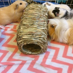 Squidgypigs  - Guinea Pig Product Reviews