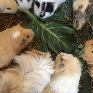 Squidgypigs - Guinea Pigs and Spring Greens