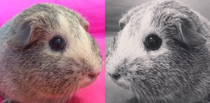 Squidgypigs -  Guinea Pigs: Nocturnal or Diurnal