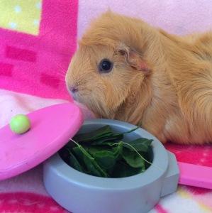 Squidgypig - Guinea Pig won't eat.