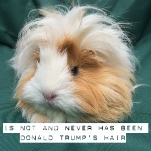 Squidgypigs - Blondie the Guinea Pig is NOT Donald Trump's Hair