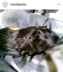 Squidgypigs - My Second Instagram Pig Pic