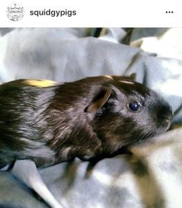 Squidgypigs - My Second Instagram Pig Pic