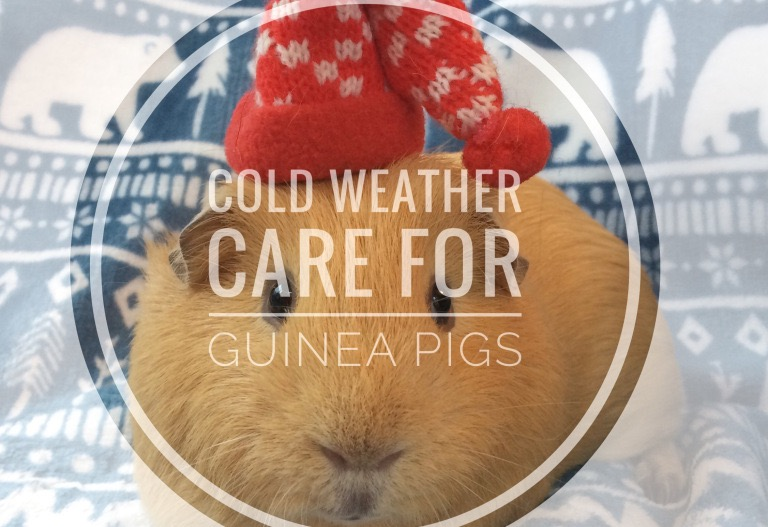 Winter Cold Weather Care For Guinea Pigs – Can My Guinea Pig