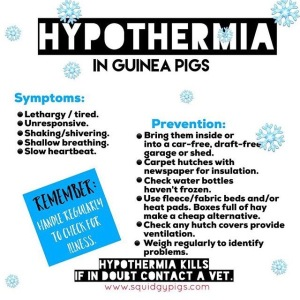 Hypothermia in Guinea Pigs