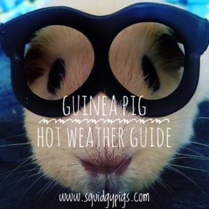 Hot weather guinea Pig care