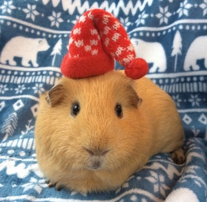 Squidgypigs - Winter Cold Weather Care for Guinea Pigs