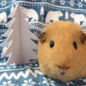 Guinea Pig Winter Care