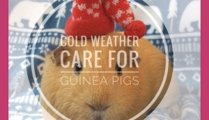 Cold weather care for Guinea Pigs
