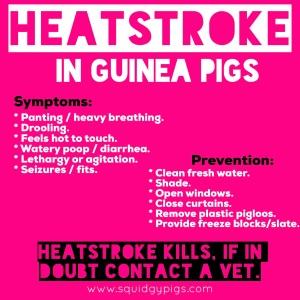 Squidgypigs - Heatstroke in Guinea Pigs
