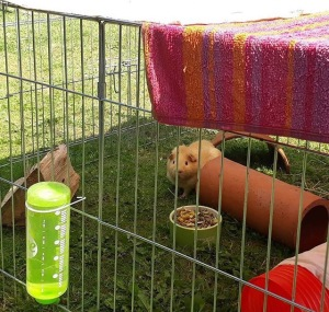 Bean and Sprout relax in the garden with plenty of water, shade and damp towels!