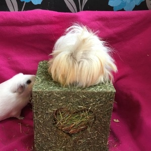 Blondie; Guinea Pig Adventurer