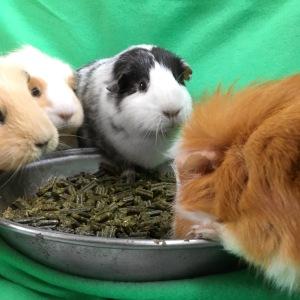 Rosewood Meadow Menu Guinea Pig Review