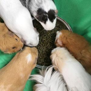 Rosewood Meadow Menu for Guinea Pigs