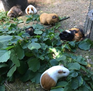 A small piggy herd munches a leafy snack in the shade.