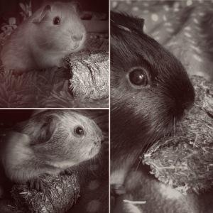 Some Squidgypig babies posing.