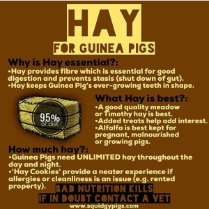Hay for Guinea Pigs