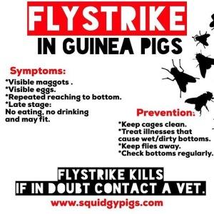 Flystrike in Guinea Pigs
