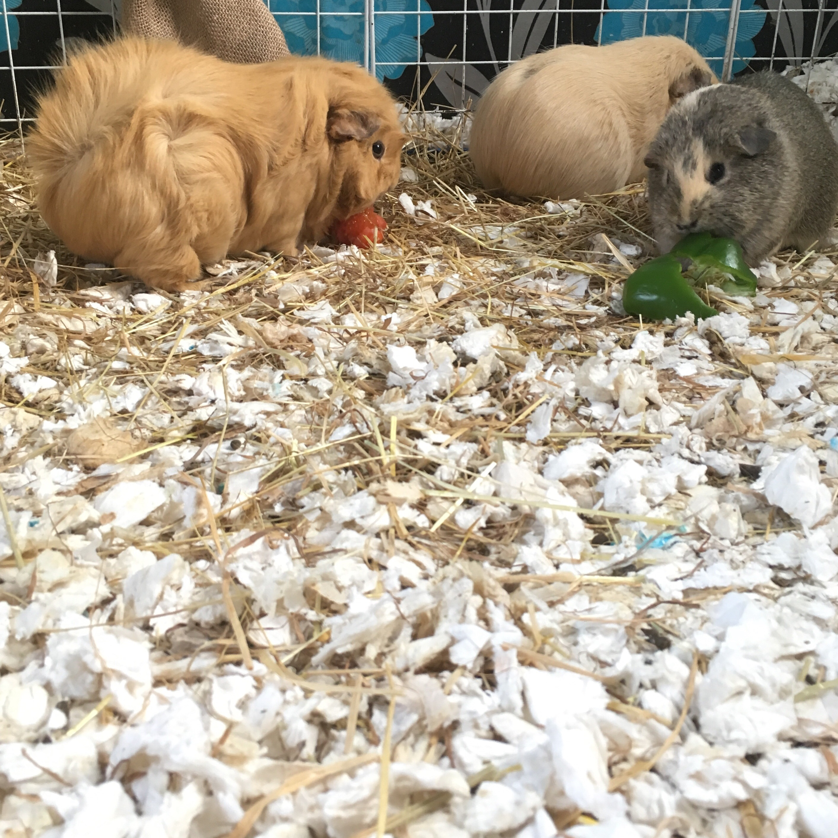 Fitch Guinea Pig Bedding Review Squidgypigs