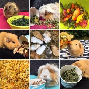 Guinea Pig Treats Summer 2017