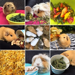 Guinea Pig Treats Summer 2017
