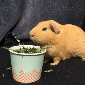 Slincypig enjoying his Dandelion leaf.