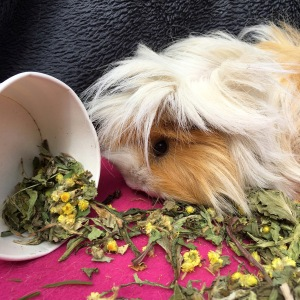 For Haymazing Pets dandelion, plantain and helichrysum review
