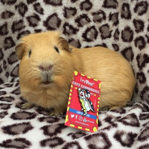 Haypigs! Cavy Cannonball Pin Badge