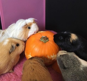 The girly fluff herd enjoying some pumpkin.