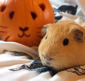 Guinea Pig Pumpkin