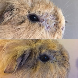 Marilyn before and after 1 week's ringworm treatment.