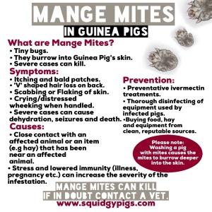 Mange mites in guinea pigs.
